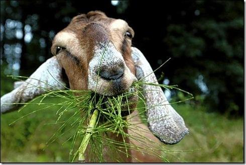 grass-goat